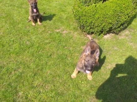 Sprzedam szczeniaki owczarka niemieckiego   małopolskie Nowy Sącz