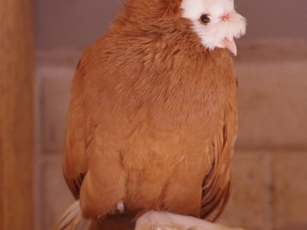 Gołębie Turkot dwuczuby