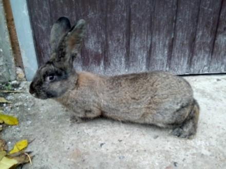 króliki na sprzedaż wielkopolskie
