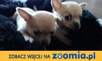 szczeniaki chihuahua,  małopolskie Brzesko