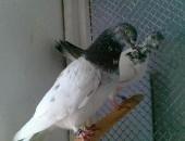 Gołębie budapeszty-pantosze