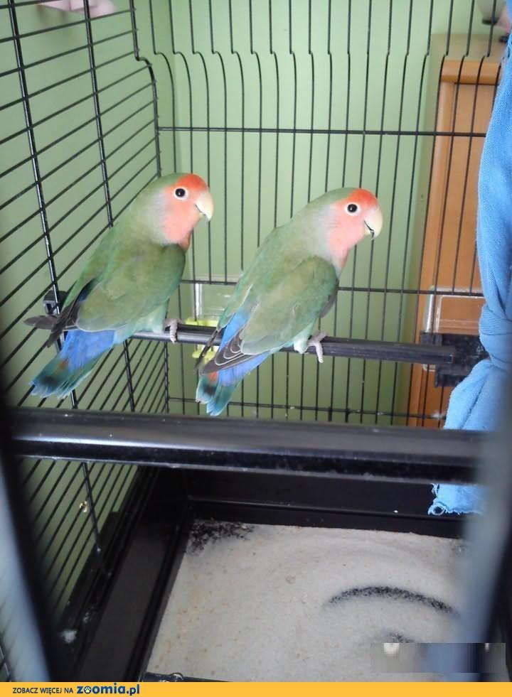 Papużki nierozłączki + Klatka Olsztyn « Papużki nierozłączki ...