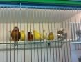 Kanarki -kanarek - samce - samice, kraków