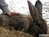 Królik,króliki Belgijskie