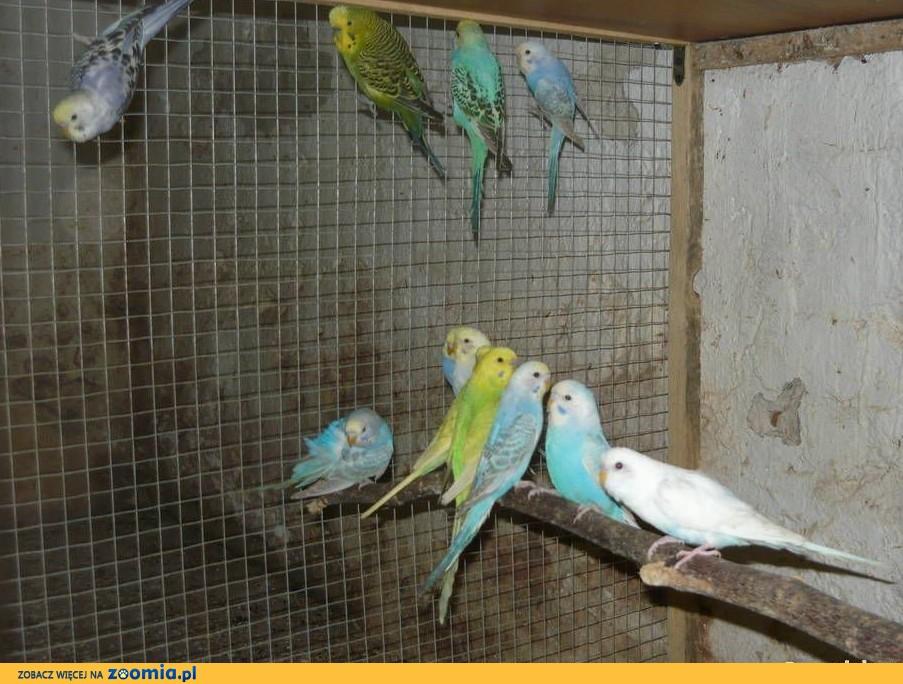 Papużki, papugi faliste 2019
