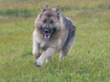 Brylant, wesoły, przyjazny pies w typie długowłosego owczarka!