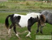As kuc tarant miniaturowy koń