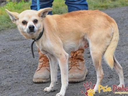KRYSZTAŁEK-piękny  maleńki  spokojny psiak szuka troskliwego domu  adopcja