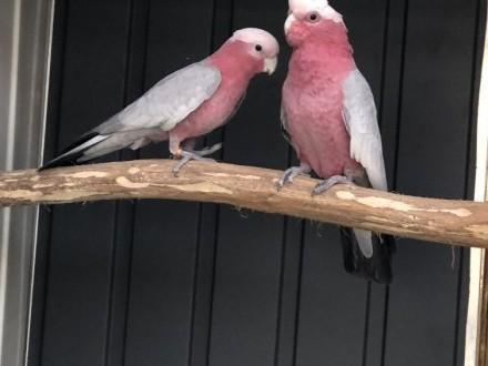 Kakadu różowe lęgowapara