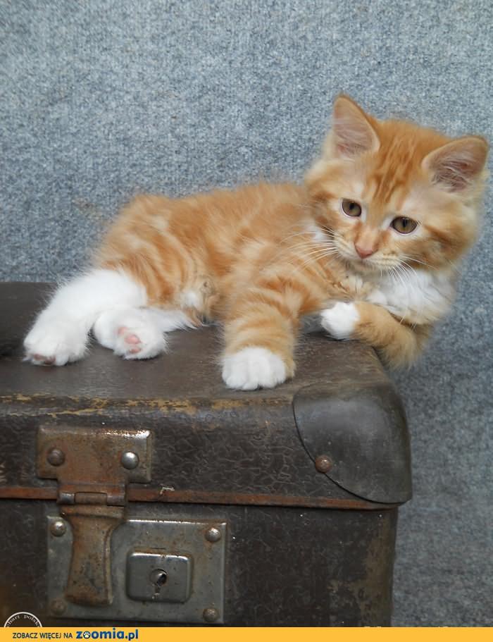 Kot Rasowy Ogłoszenia Z Hodowli Sprzedam Koty Zoomiapl Pl 6