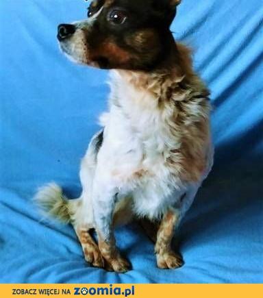 ŁATEK - nieśmiały, delikatny, kochany psiak; do adopcji,  małopolskie Kraków