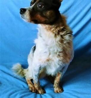 ŁATEK - nieśmiały  delikatny  kochany psiak; do adopcji   małopolskie Kraków