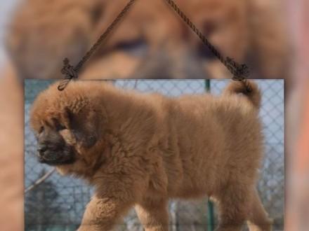 Mastif tybetański - mocny duży złoty piękny piesek (długi włos)