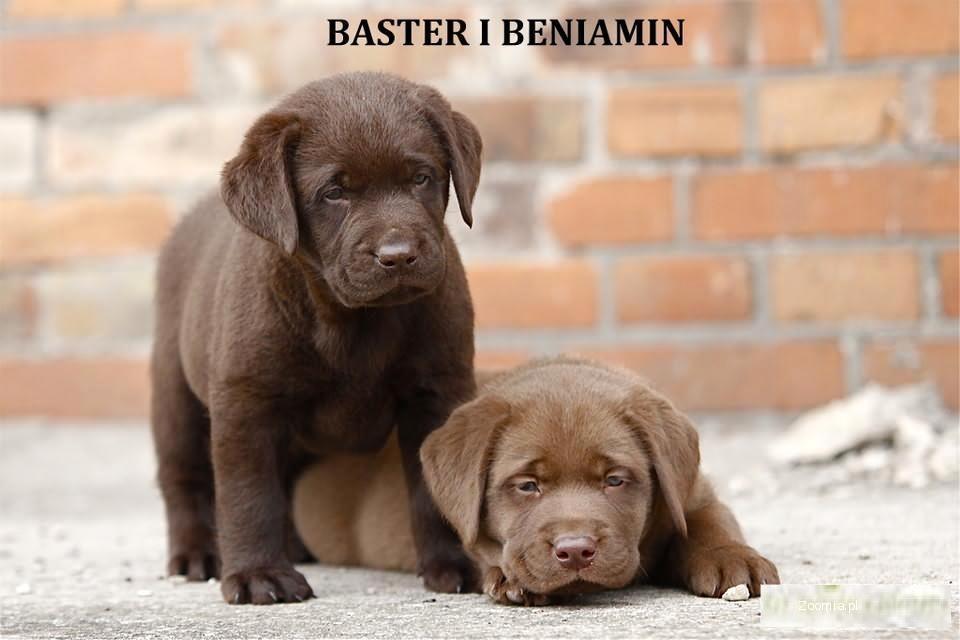 Rodowodowe czekoladowe i czarne labradory