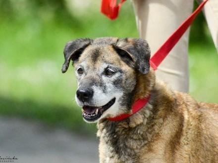 Cudowny Boksio  uległy  niekonfliktowy psiak szuka domu!