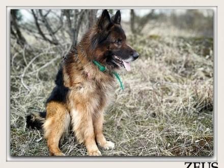 Owczarek niem kontaktowy nieufny do obcych szczepiony pies ZEUSAdopcja