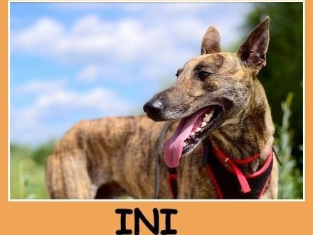 Pręgowany chart mix grzeczny spokojny przyjazny towarzyski pies INI_Adopcja