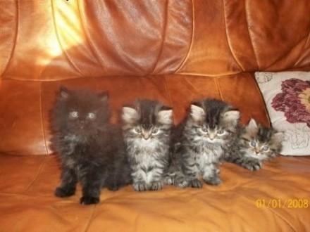 Koty perskie   warmińsko-mazurskie Giżycko