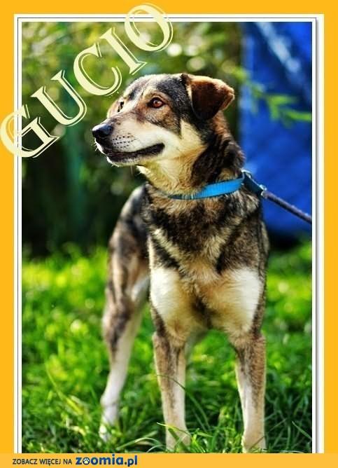 GUCIO-duży 20kg,przyjazny,kontaktowy,wilczasty pies,czip,ks.zdrowiaDAM