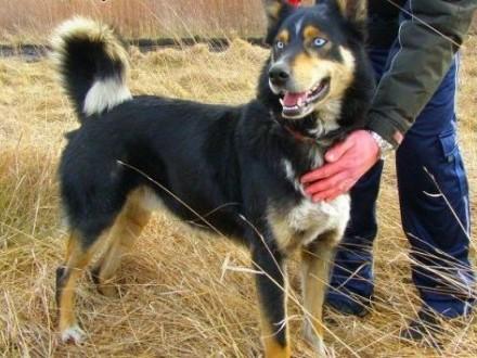 Hasan - niebieskooki psiak mix husky czeka na adopcję   śląskie Mysłowice