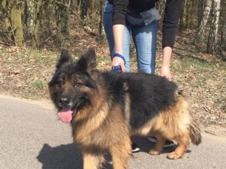 PANKO - prawie owczarek o wyjątkowym charakterze szuka domu!   mazowieckie Warszawa