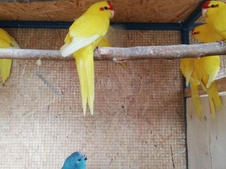 Papugi Kozy modrolotki 2019  2020
