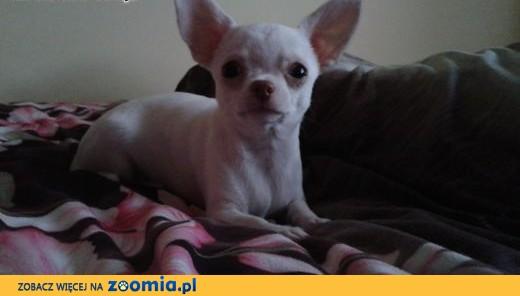 Chihuahua krótko i długowłosy- mini szczeniaczek,  śląskie Częstochowa