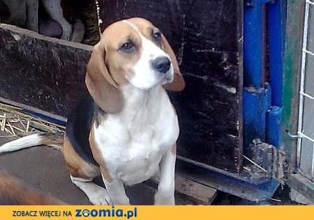 Dwie dorosłe SUCZKI 4 i 5 letnia Beagle tricolor