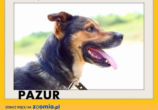 PAZUR,duży,przyjazny,łagodny,spokojny pies.ADOPCJA,  dolnośląskie Wrocław