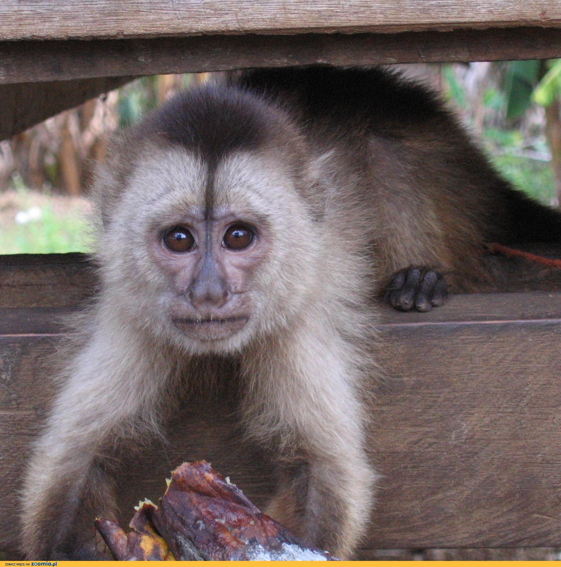 Małpka kapucynka oliwkowa (jasnolica)