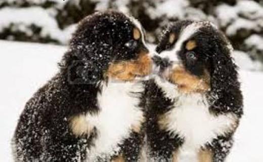 Berneński Pies Pasterski - szczenięta    pomorskie Skarszewy