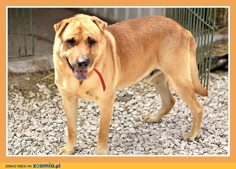 40 kg,mix shar peia,do domu z ogrodem, ,czujny odważny pies TAJFUN_Dam
