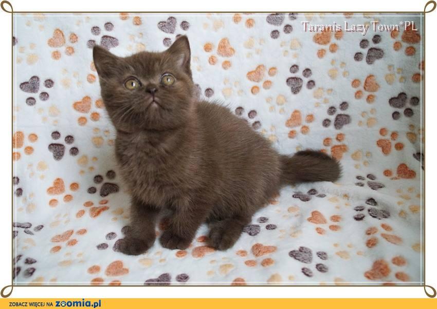 Czekoladowy kotek brytyjski międzynarodowy rodowód WCF