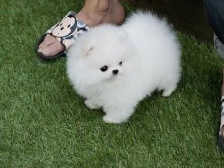 Szpic Miniaturowy - Pomeranian FCI