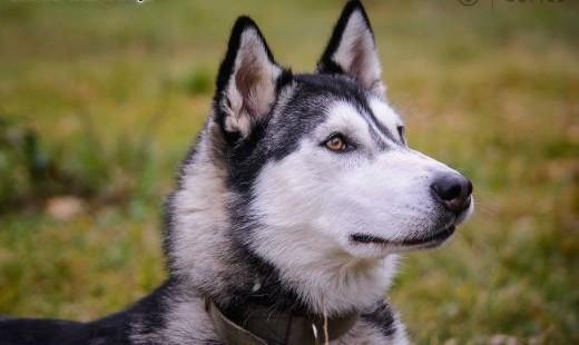 Sonia- syberian husky- do pokochania   mazowieckie Maków Mazowiecki
