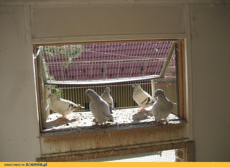 Gołębie pocztowe standard