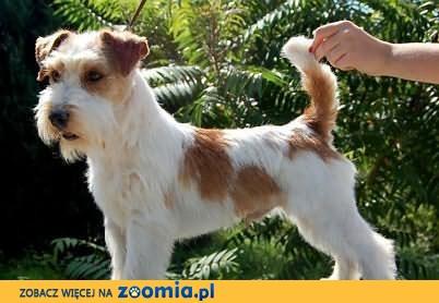 Piękny import z AUSTRALII Jack Russell Terrier REPRODUKTOR