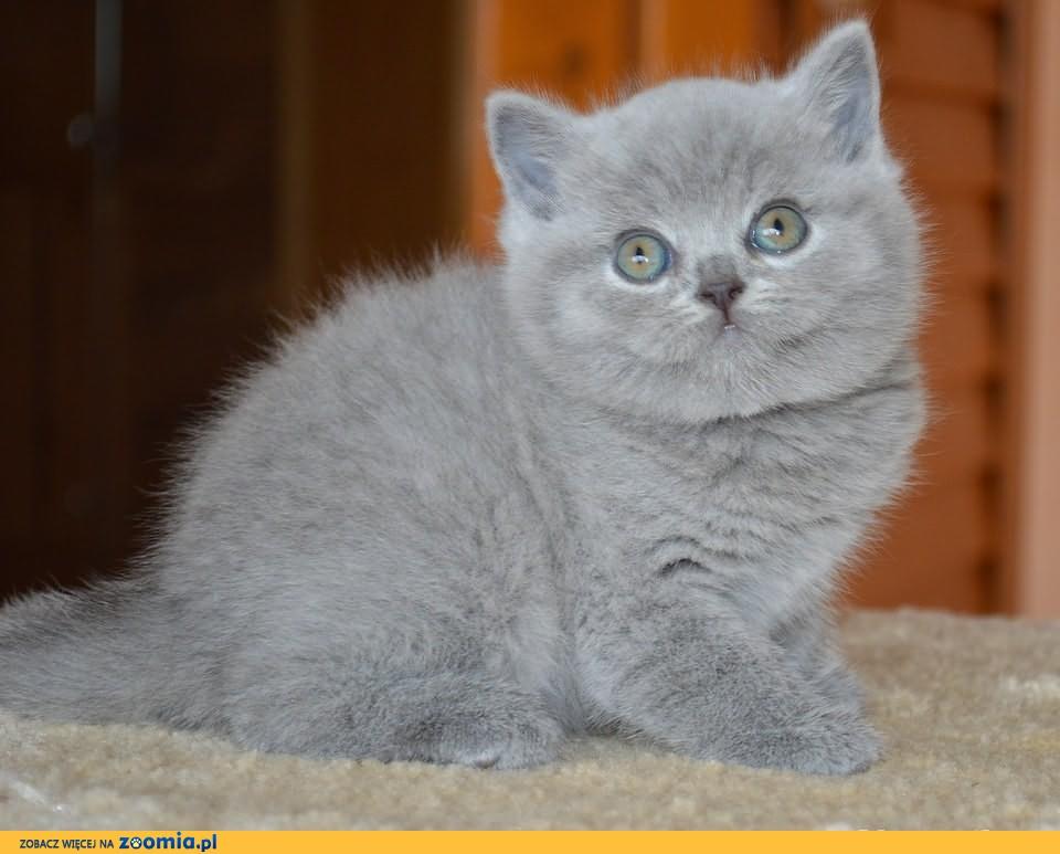 Bertone -ostatni piękny niebieski chłopiec!