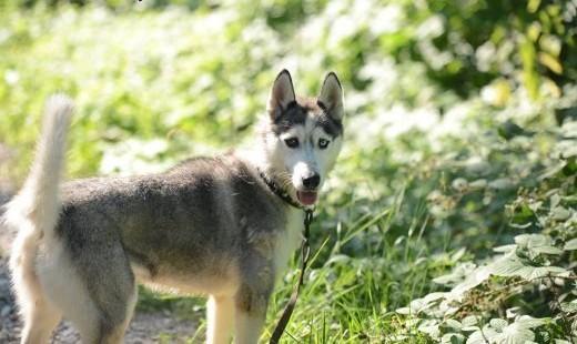Gaja  młoda  wesoła  aktywna suczka siberian husky ADOPCJA   Kundelki cała Polska