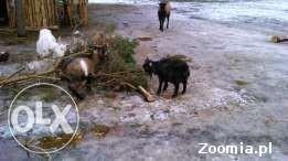 Sprzedam kozy miniaturowe