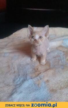 to nie koty to pieski-małpki:) , ŚWIATOWE NAJLEPSZE GENY -RODOWÓD