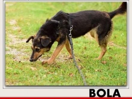 'Średnia,towarzyska,czujna,sterylizowana suczka BOLA.ADOPCJA,  łódzkie Łódź