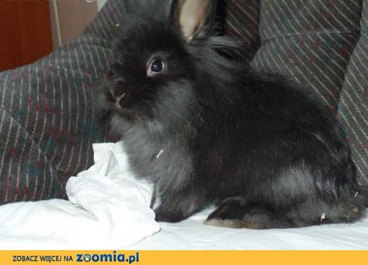 królik Jacuś do adopcji,  Królik miniaturka cała Polska