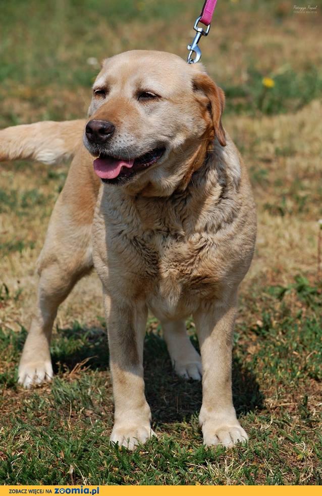 Tina - cudowna labradorka czeka na dom
