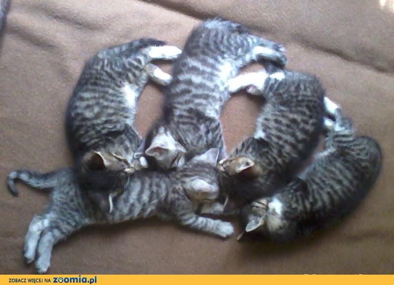 oddam dwa małe kotki i jedną kocicę