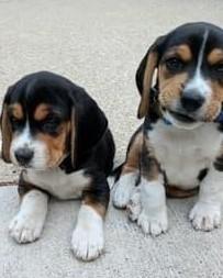 Prezent dla szczeniąt rasy Beagle