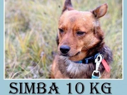 11kg łagodny wesoły towarzyski piesek SIMBA krótkie łapkiAdopcja   śląskie Katowice