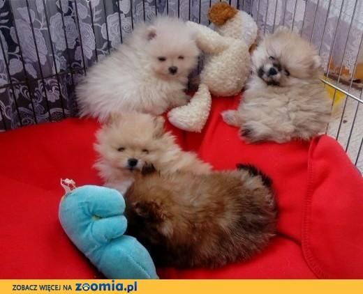 Szpic Miniaturowy Pomeranian FCI ,  małopolskie Limanowa