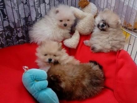 Szpic Miniaturowy Pomeranian FCI    małopolskie Limanowa