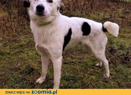 ŁACIO - kochany, łagodny psiak nie odnajduje się w schronisku, PILNA ADOPCJA,  wielkopolskie Poznań